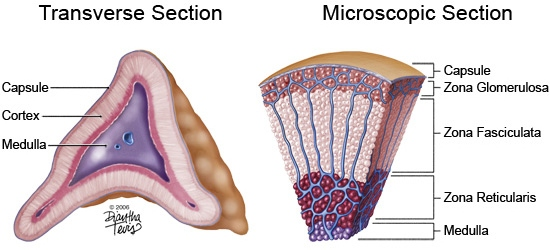 adrenal gland cross sections & adrenal cortex steroid biosynthesis, Human Body