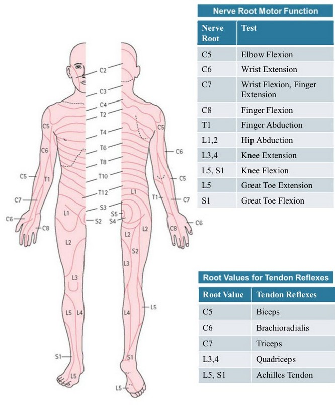 Easy Medical Terminology New Muscular System Reference: Dermatomes And Myotomes